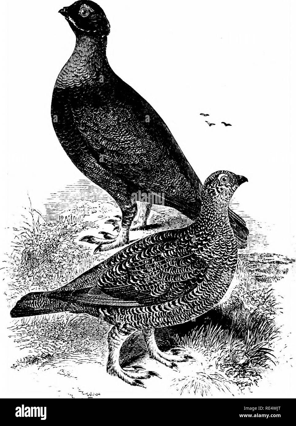 . An illustrated manual of British birds. Birds. TETRAONID/E. 495. THE RED GROUSE. Lag(5pus sc6ticus (Latham). This species, indigenous only to the British Islands, is our repre- sentative of the Willow-Grouse (Z. albus), the latter inhabiting the northern portions of Europe, Asia and America. In Scotland, from which the Red Grouse derives its specific name, the bird is generally distributed over the moors of the mainland, from the highest point where ling (Callund) and heath {Erica) flourish, down to the coast-line; while it also occurs in the Inner and most of the Outer Hebrides, and remarka - Stock Image