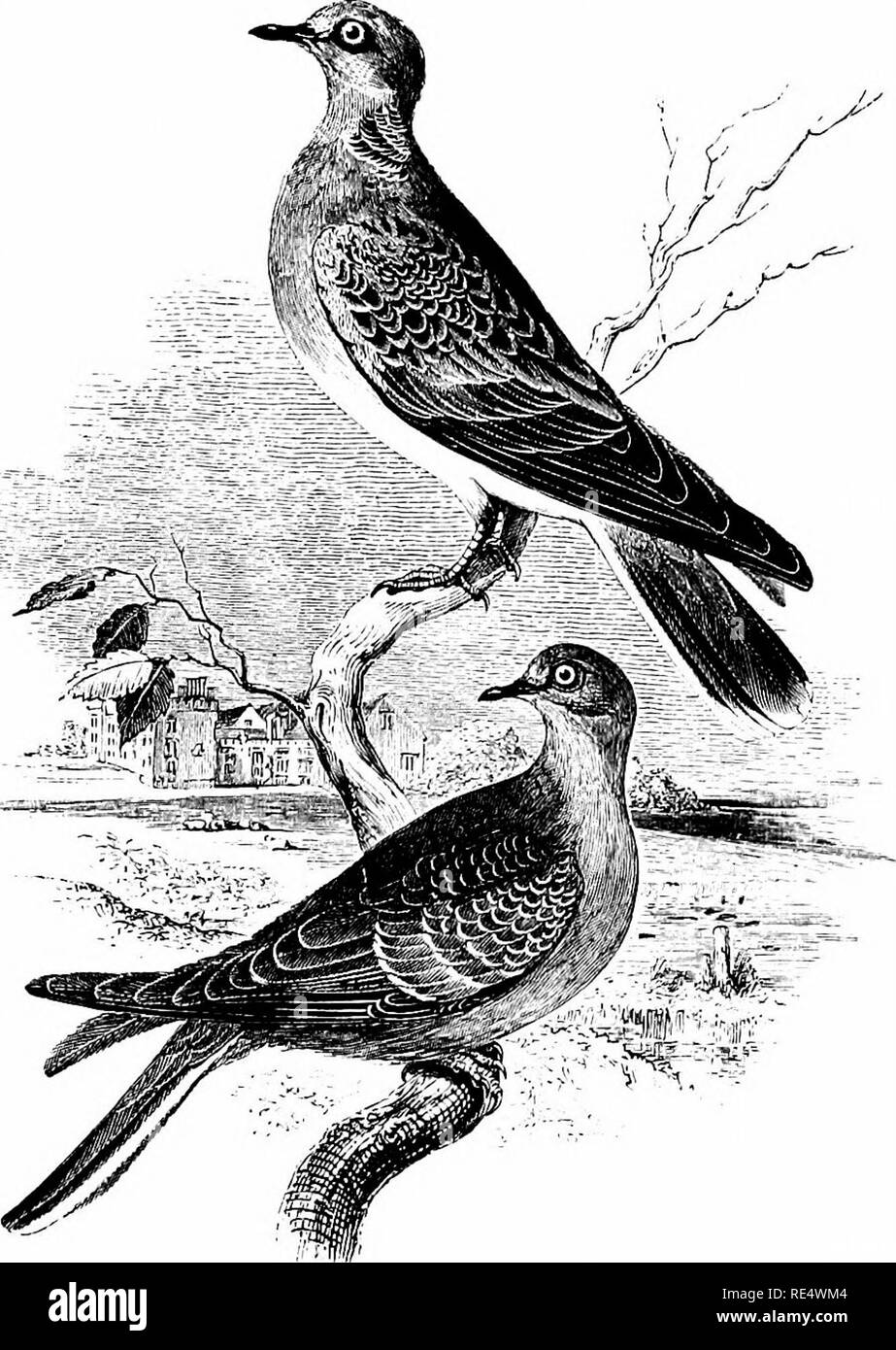 . An illustrated manual of British birds. Birds. COLUMBID/E. 485. THE TURTLE-DOVE. Tt^RTUR COMMT^NIS, Sclby. The Turtle-Dove is only a summer-visitor to the British Islands, arriving in the southern districts about the end of April or early in May, according to the nature of the season. In Cornwall, Western Wales, and Lancashire it is infrequent, but it is abundant in the eastern and midland counties, and is now of more or less regular occurrence up to about the line of Sheffield, north of which it is comparatively rare; it has, however, been known to breed in Durham and Cumberland, and is rec - Stock Image
