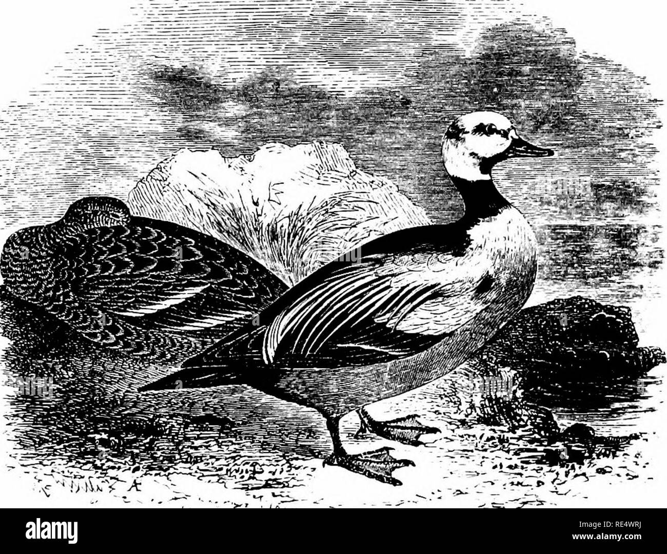 . An illustrated manual of British birds. Birds. ANATIDjE. 463. STELLER'S EIDER. SOMATERIA ST^LLERI (Pallas). This Arctic species, formerly called Steller's Western Duck, occa- sionally wanders to the temperate portions of Europe in winter, and has twice occurred in England. The first example, a male in nearly adult plumage, was killed on February loth 1830, at Caistor in Norfolk, and having been afterwards presented to the Norwich Museum by the Rev. George Stewart, formed the subject of Yarrell's (and the present) illustration. The second was shot while sitting alone on the sea off Filey Brig - Stock Image