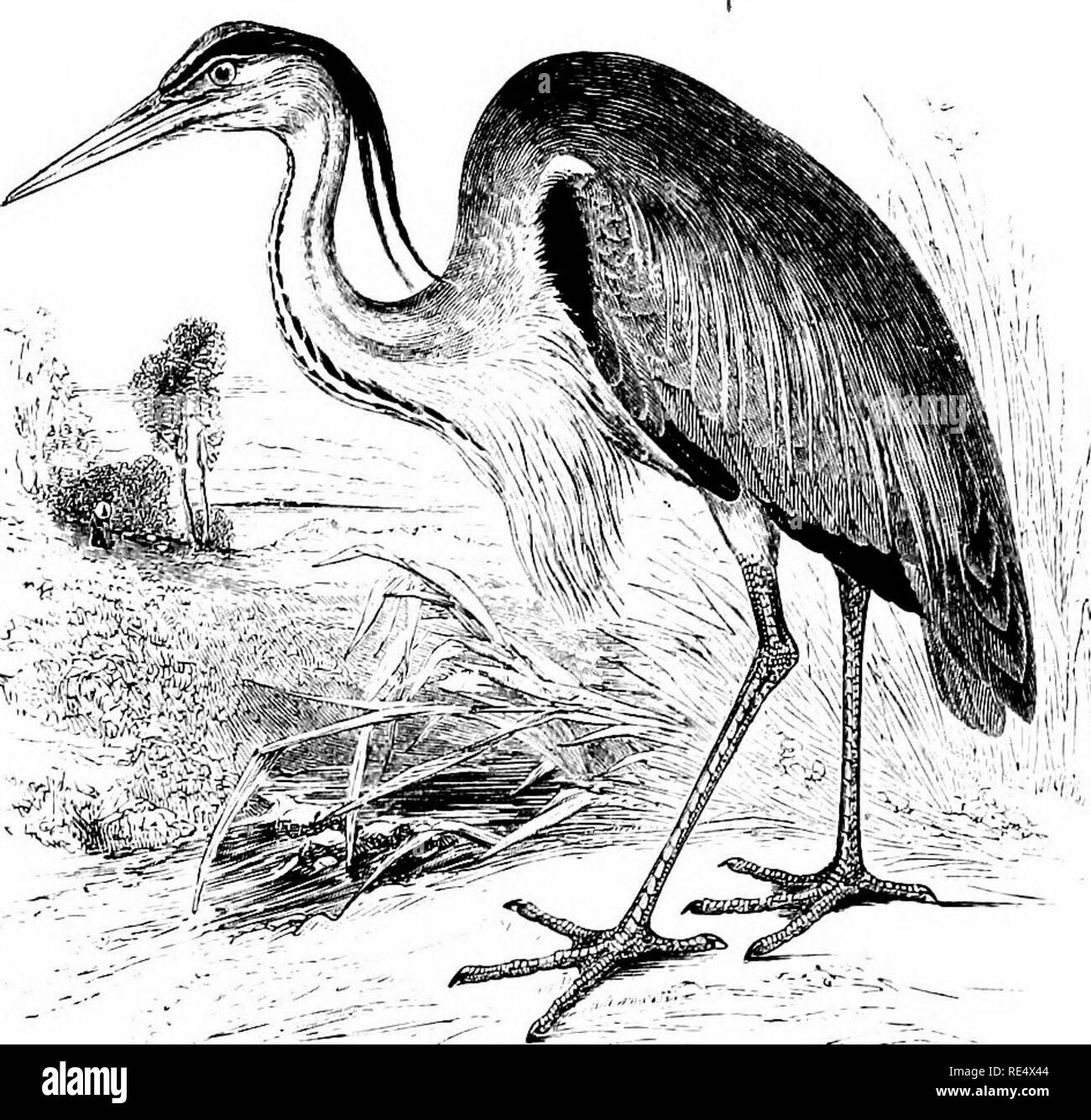 . An illustrated manual of British birds. Birds. ARDEID^. 367. THE COMMON HERON. Ardea cin:^rea, Linnaeus. This bird is no longer protected as in the days of Falconry, but it is still generally distributed throughout the British Islands; and in England the number of its colonies has suffered no diminution, though many of them are seriously reduced in size as compared with former times. In Scotland there never were many large heronries, but small ones are scattered over the greater part of the mainland as well as some of the outlying islands. The latter remark applies to Ireland, where, however - Stock Image