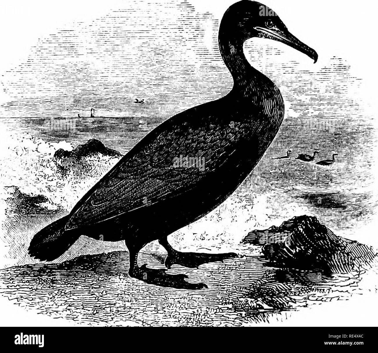 . An illustrated manual of British birds. Birds. PELECANIDiE. 363. ^^^1^^^ THE SHAG, OR GREEN CORMORANT. Phalacr6corax graculus (Linnoeus). The Shag, also known as the Scart, Scarf, or Crested Cormorant, may be distinguished from the preceding species by its smaller size, and, when adult, by its prevailing green colour. The illustration is taken from a bird in autumn plumage; the crest, which is assumed very early in spring and only retained for a few months, is tuft-shaped and curved forward. The young are not so easily recognized on the wing, but may be distinguished on examination by the ta - Stock Image