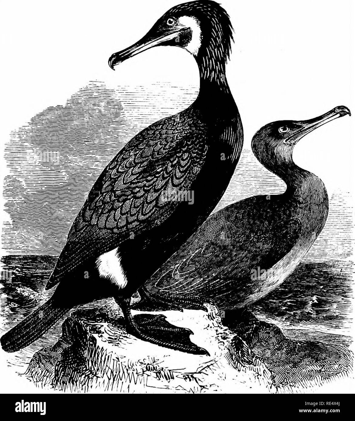 . An illustrated manual of British birds. Birds. PELECANID^. 361. THE COMMON CORMORANT. Phalacr6corax cArbo (Linnsus). The Great, or Black Cormorant, as it is sometimes called to distinguish it from the smaller Green Cormorant or Shag, is common and generally distributed along the greater part of the British coast-hne, and until 1825-27 some 50 or 60 pairs used to nest on the trees at Fritton, Suffolk. From Flamborough northward to Caithness it is more abundant, as a rule, than the Shag; though in the Shetlands, Orkneys, Hebrides, and along the western side of Scotland, it is usually in a mino - Stock Image