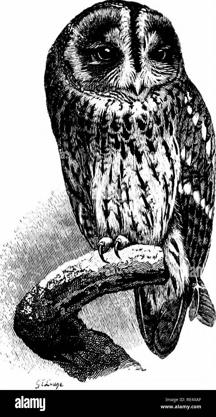 """. An illustrated manual of British birds. Birds. STRIGIDiE. 297. THE TAWNY OWL. Syrnium ALtJCO (Linnaeus). The Tawny, Brown, or Wood-Owl familiarly called """"the Hooter,'' is tolerably abundant in England and Wales, wherever there are woods or crags suited to its habits; it is in fact commoner in some places than the White or Barn-Owl, though decreasing in others. In the south of Scotland it is well-known, while it is quite the most numerous Owl in the Moray basin, and has extended its range on the mainland to Caithness and Sutherland; in the west, it occurs in Skye and several of the Inner - Stock Image"""