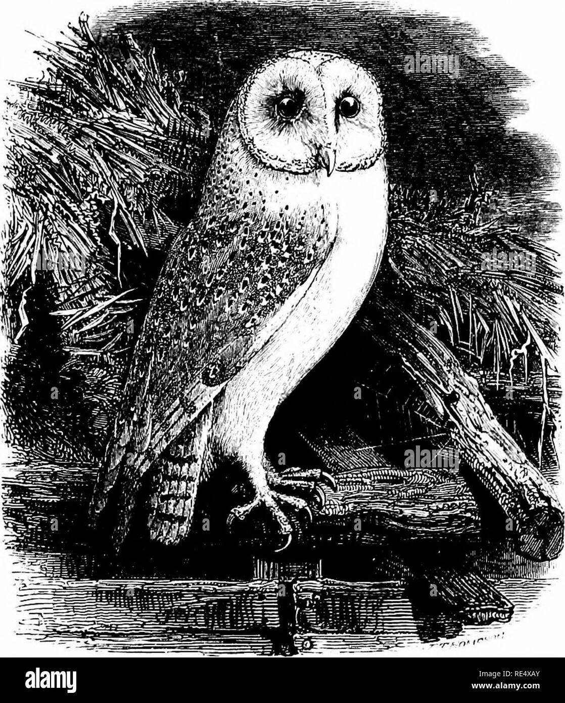 . An illustrated manual of British birds. Birds. STRIGID^. 291. THE BARN-OWL. Strix flXmmea, Linnaeus. This species, also known as the White, Screech- or Church-OwI, is generally distributed throughout England, Wales and Ireland ; it might even be common, but for the persecution it suffers from game- keepers, ignorant farmers, and dealers in plumes for ladies' hats, fire- screens &c. In Scotland it is not often found above the Lowlands, though it breeds in small numbers as far as Caithness and the Inner Hebrides, including Skye; in the Orkneys and Shetlands it is almost—if not quite—unknow - Stock Image