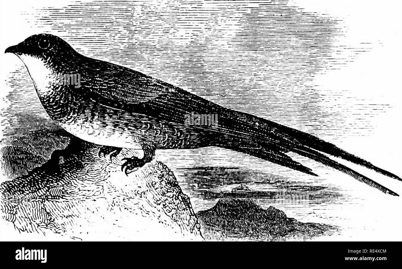 . An illustrated manual of British birds. Birds. CYPSELID^. 263. THE ALPINE SWIFT. Cypselus Mi^LBA (Linnagus). This large Swift was first noticed as one of our occasional visitors about midsummer 1829, when one was shot off the coast of Ireland; and since that time three or four more have been obtained, at long intervals, in that island. Upwards of a score of instances are on record from various parts of England : mostly from the southern half, though one of them occurred as far north as Alnmouth in Northumberland. No captures have as yet been made in Scotland. With the exception of a bird tak - Stock Image