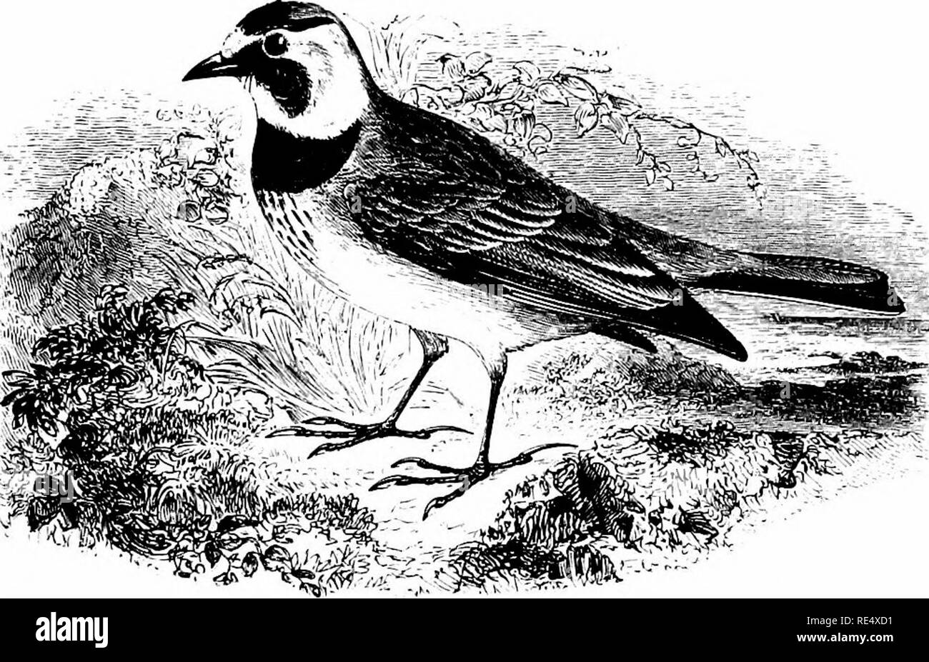 . An illustrated manual of British birds. Birds. ALAUDID/t:. 259. THE SHORE-LARK. Ot6corys ALPisTRis (Linnaeus). The Shore-Lark was first noticed as a visitor to England in March 1830, when one was obtained on the coast of Norfolk. Subsequently the species occurred, at irregular and sometimes long intervals on the eastern and southern shores of England (seldom on the western side) until the winter of 1869-70, when a considerable visitation took place, chiefly along the east coast. From that time onward, especially in 1879-80 and 1882-83, its numbers have considerably increased, and autumnal ar - Stock Image