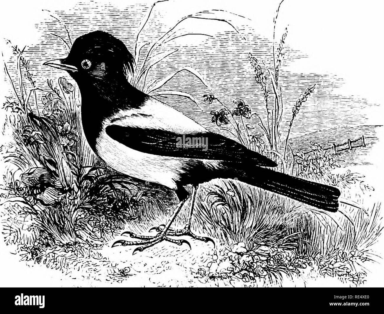 . An illustrated manual of British birds. Birds. STURDIN^. 229. THE ROSE-COLOURED STARLING. PAsTOR ROSEUS (Linnseus). This handsome species, which was first recognized as a visitor to the British Islands in 1742, when Edwards figured an example killed near Norwood, has subsequently occurred at intervals in many parts of England, occasionally in Wales, and often in Devon and Cornwall; though more frequently on the eastern side of the island. As a rule its arrival has taken place between May and October, and the visitors to our shores appear to have been birds which had separated from flocks of  - Stock Image