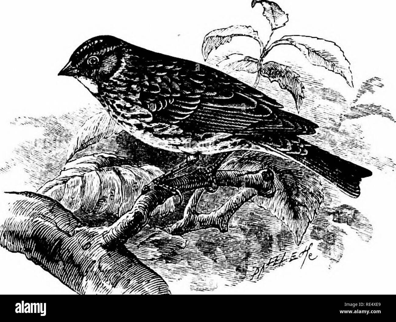 . An illustrated manual of British birds. Birds. EMBERIZIN^. 219. THE LITTLE BUNTING. Emberiza PUsfLLA, Pallas. The only British example yet recorded of this smallest of European Buntings was brought, on November 2nd 1864, to the late Mr. Swaysland of Brighton, and was identified alive by the late Mr. G, D. Rowley. It was subsequently exhibited before the Zoological Society, and now forms part of Mr. T. J. Monk's fine collection of Sussex birds. Other wanderers may have occurred and been overlooked. The Little Bunting has been obtained near Lund, in Sweden, on the spring migration of 1815 ; al - Stock Image