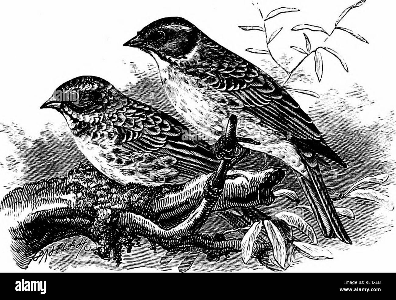 . An illustrated manual of British birds. Birds. EMBERIZIN^.. THE RUSTIC BUNTING. Emberiza rtJstica, Pallas. The first example of the Rustic Bunting known to have occurred in England was caught near Brighton, on October 23rd 1867, and was shown alive to the late Mr. G. D. Rowley ; it is now in the collection of Mr. T. J. Monk of Lewes. A second, identified and recorded by Mr. W. E. Clarke (Zool. 1881, p. 465), exhibited at a meeting of the Zoological Society, and now in the York Museum, was shot on the Holderness coast, Yorkshire, on September 17th 1881, the same day on which a young bird of t - Stock Image