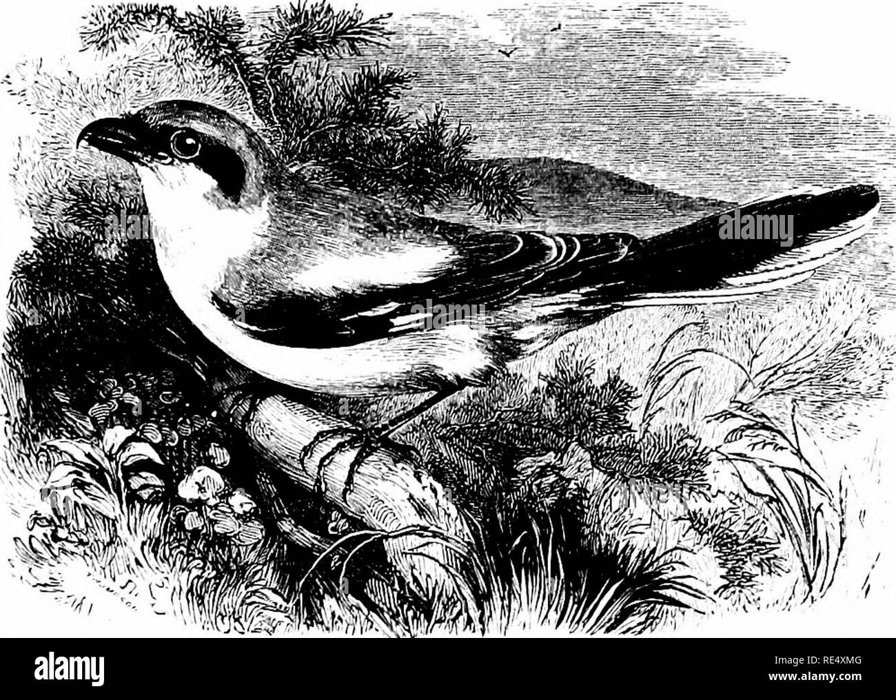 . An illustrated manual of British birds. Birds. LANIID^. 147. THE GREAT GREY SHRIKE. LAnius excubitor, Linnaeus. The Great Grey Shrike is a conspicuous and fairly regular visitor from the Continent to the British Islands in autumn and winter; while it has occasionally been observed in spring and even in summer, though there is no evidence that it has ever bred with us. It is naturally more frequent on the eastern side (especially in the Humber district, where it pursues the small migrants) than on the west; but though records are wanting from the Hebrides, it has occurred in Argyll and often  - Stock Image