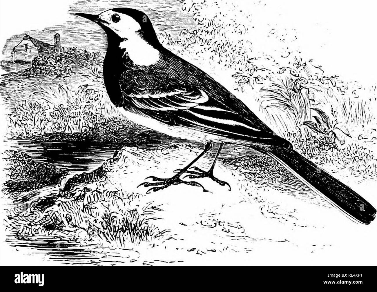 . An illustrated manual of British birds. Birds. MOTACILLID/E. 123. THE WHITE WAGTAIL. MoTACiLLA ALBA, Linnseus. This Continental representative of the familiar species already described was first recognized in England by the late Mr. F. Bond, who found two pairs at Kingsbury Reservoir, Middlesex, in the latter part of May 1841. Since that date it has occurred in a good many counties of England, being not uncommon in Cornwall in spring; Mr. Haigh found it numerous in North Wales on the spring passages of 1891 and 1897 ; and it is said to have nested in Devon, the Isle of Wight, Kent, Middlesex - Stock Image