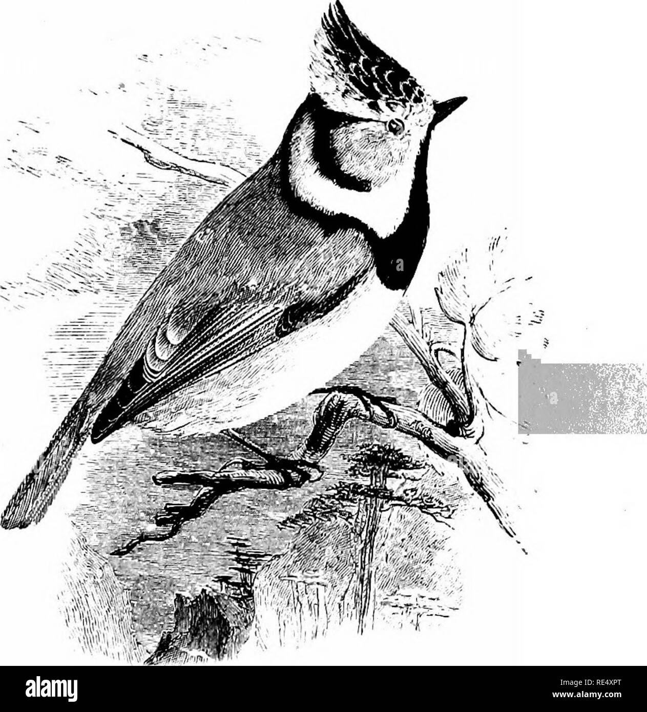 . An illustrated manual of British birds. Birds. parida;.. THE CRESTED TITMOUSE. Parus cristatus, Linnaeus. It seems probable that the Crested Titmouse has been for ages a resident species in the old forests of Scotland, which now survive principally in the valley of the Spey. Probably the bird does not breed at the present time outside Strathspey. It has occurred in Perthshire in winter, but, as a rule, it wanders little from its usual haunts, and one recorded example in Argyll and another near Dumbarton, appear to be the only instances in Southern Scotland. In England few of the cases on rec - Stock Image