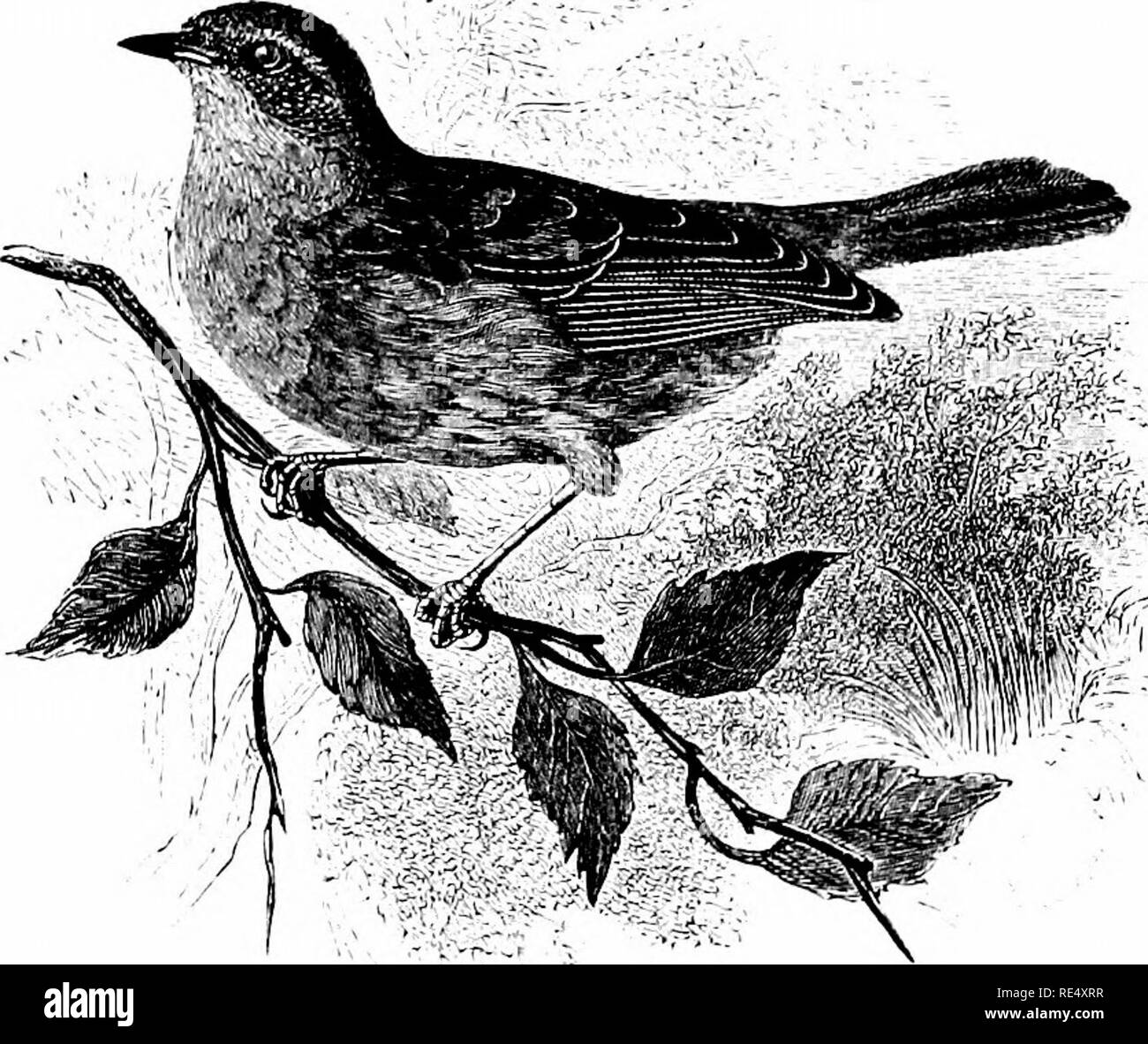 . An illustrated manual of British birds. Birds. ACCENTORIN/E. 93. THE HEDGE-SPARROW. Accentor modularis (Linnoeus). The Hedge-Sparrow is resident and generally distributed through- out the British Islands : the exceptions being the bleakest of the Outer Hebrides and the Shetlands, for in the Orkneys it has bred since 1887, and is increasing. In Sutherland and Caithness it is extending its range wherever plantations are springing up ; while in winter it comes nearer to houses, where a more plentiful supply of food is attainable. On the east coast it is a regular migrant, extraordinary numbers  - Stock Image