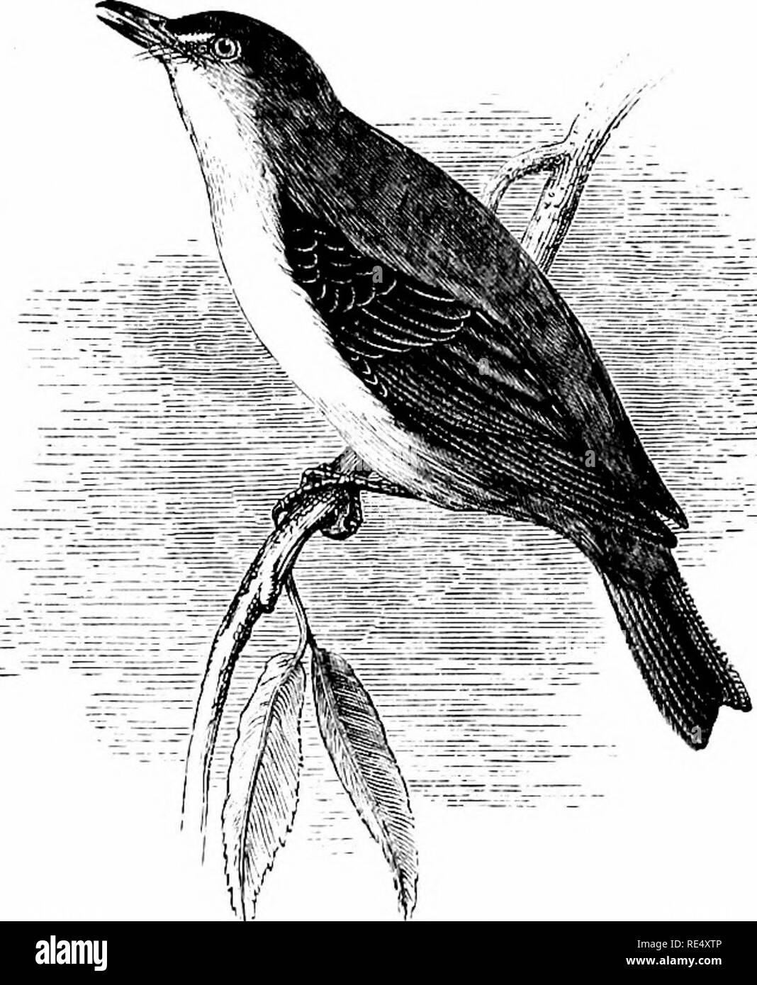 An illustrated manual of British birds  Birds  SYLVIIN/E  77
