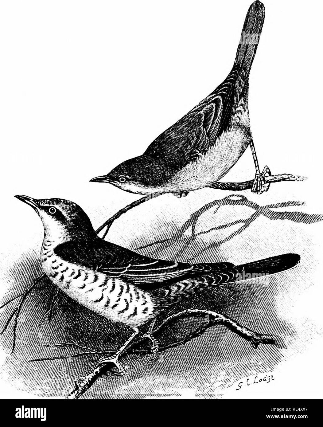 . An illustrated manual of British birds. Birds. SYLVIIN/E. 51. THE BARRED WARBLER. Sylvia nis6ria (Bechstein). On March 4th, 1879, Professor Newton exhibited at a meeting of the Zoological' Society a specimen of the Barred Warbler which liad been shot many years previously in a garden near Queen's College, Cambridge. Since attention was thus drawn to this species as a visitor, eleven more examples have been obtained in the British Islands. Between 1884 and 1896, four occurred in East Yorkshire at dates varying from August 28th to November 13th, and three near Blakeney, Norfolk, from August 31 - Stock Image