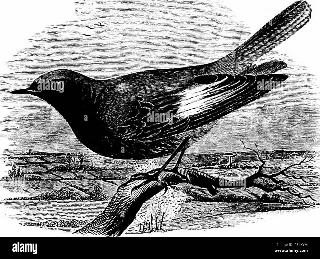 . An illustrated manual of British birds. Birds. TURDIN^. 33. THE BLACK REDSTART. RuTicfLLA tItys (Scopoli). The Black Redstart, formerly considered a rare bird, is now a well-known visitor to many parts of the English coasts in autumn and winter, being, in fact, tolerably common at those seasons in the southern counties, especially in Devon and Cornwall, and remaining till March or April. In the Humber district, and at Flamborough, it is sometimes numerous on both migrations (J. Cordeaux). It has also occurred later in spring, and I saw an adult male at Erping- ham, Norfolk, on May 15th, 1872 - Stock Image