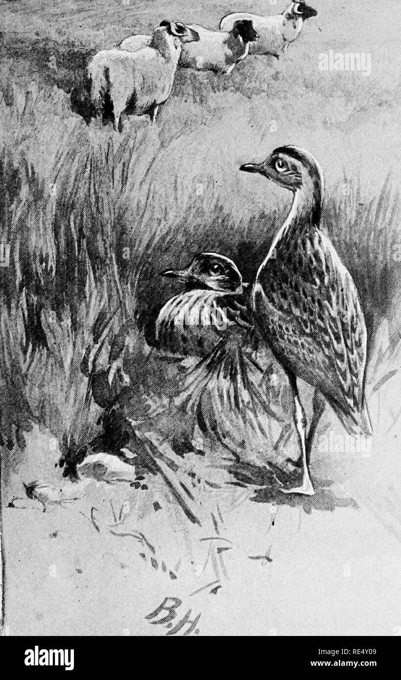 . The wild-fowl and sea-fowl of Great Britain. Birds. Stone Curlew.. Please note that these images are extracted from scanned page images that may have been digitally enhanced for readability - coloration and appearance of these illustrations may not perfectly resemble the original work.. Jordan, Denham; Visger, Jean Allan (Pinder) Owen, 1841-. London, Chapman and Hall - Stock Image