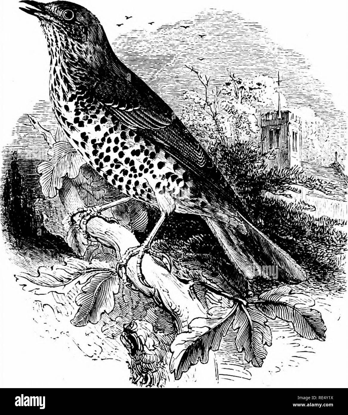 . An illustrated manual of British birds. Birds. BRITISH BIRDS.. THE MISTLE-THRUSH. TuRDUs viscfvoRUS, Linnaeus. Owing perhaps to the increase of plantations during the present century, the Mistle-Thrush, the largest resident species of the genus, has extended its breeding-range northward to Caithness, Suther- land and West Ross, as well as to some of the Hebrides; but to the Orkneys it is chiefly a wanderer, very rarely breeding, and has seldom been recorded from the Shetlands. Until about the year 1800 it was unknown in Ireland, where it is now sedentary and increasing; while in England and  - Stock Image