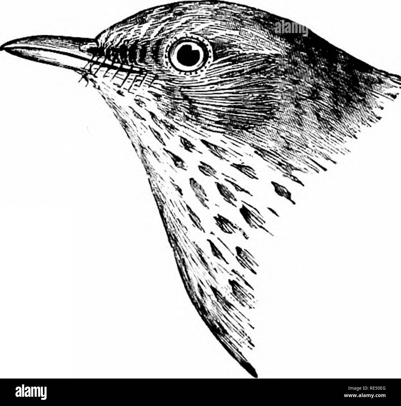 . The birds of eastern North America known to occur east of the nineteenth meridian ... Birds. 322 KEY TO THE BIRDS OF EASTERN NORTH AMERICA.. Upper plumage, brownish olive; ends of upper tail coverts and tail, rufous brown, much more rufous than the back; no white on tail; first primary, very small and narrow. Hermit Thrush. Turdus aonalaschkcE pallasii. See No. 5G5.. Please note that these images are extracted from scanned page images that may have been digitally enhanced for readability - coloration and appearance of these illustrations may not perfectly resemble the original work.. Cory, C Stock Photo