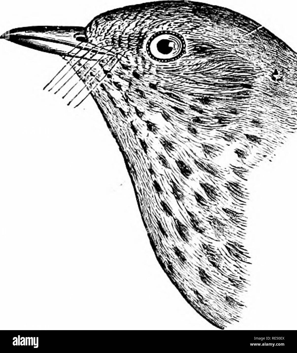 . The birds of eastern North America known to occur east of the nineteenth meridian ... Birds. Ss >- Back, rump, and upper tail coverts, olive, about the gaine color; eye ring, cheeks, aud lores, pale buff; no wliite on wing coverts. 01ive°backed Thrush. Turdns ustulatns sieahisiDu, See No. 564.. Please note that these images are extracted from scanned page images that may have been digitally enhanced for readability - coloration and appearance of these illustrations may not perfectly resemble the original work.. Cory, Charles B. (Charles Barney), 1857-1921; Field Columbian Museum. Chicago, Stock Photo