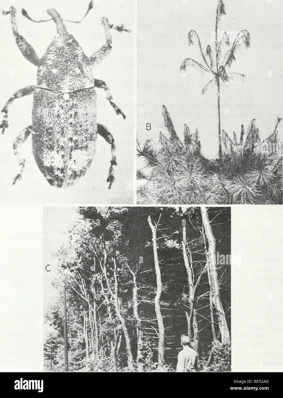 Eastern forest insects. Forest insects. marked irregularly with brown and  white scales.