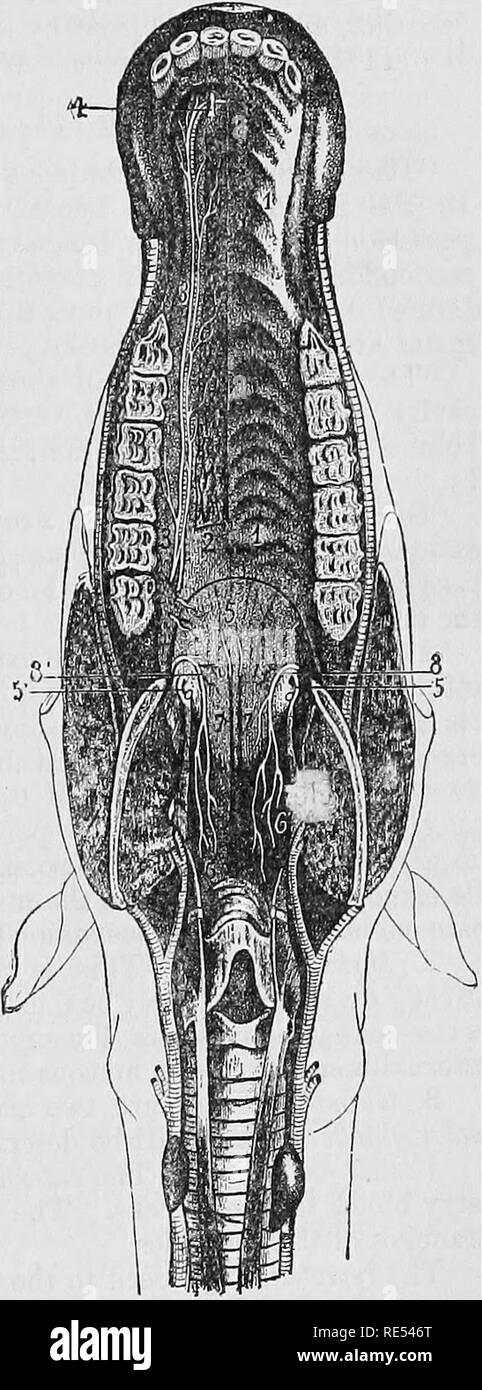 . The comparative anatomy of the domesticated animals. Veterinary anatomy. THE MOUTH. 333 maxilla above the angle of the jaw, and from the crown of the last molar tooth, so as to pass between the curtain of the soft palate on the one part, and the base of the tongue on the other, leaving the latter organ adherent to the lower jaw. Tliis last should bo removed from tlie upper jaw by cutting through the masseter and alveolo-labial mutoles, and so exposing the hard and solt palates in such a manner as to render easy the special dissections Fig. 148. necessary for their study. These dissections ar - Stock Image