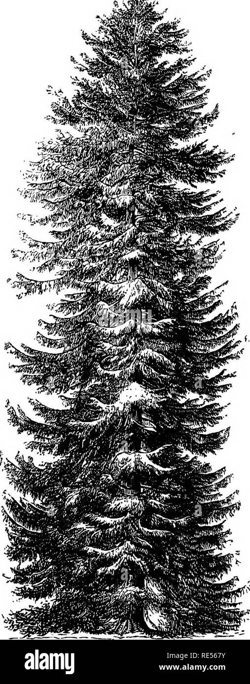 . Rural essays. Gardening; Architecture, Domestic; Landscape architecture; Trees. The Norway Spruce Fir. Fiill-t'rowii tree »t Stiidlcy, 132 ft. liigh ; diivm. of the trunk, 63^ ft.; hiuI of tlie liejul, »9 II. yScalelin.to-HJt.'l. Please note that these images are extracted from scanned page images that may have been digitally enhanced for readability - coloration and appearance of these illustrations may not perfectly resemble the original work.. Downing, A. J. (Andrew Jackson), 1815-1852; Curtis, George William, 1824-1892; Bremer, Fredrika, 1801-1865. New York, G. P. Putnam - Stock Image