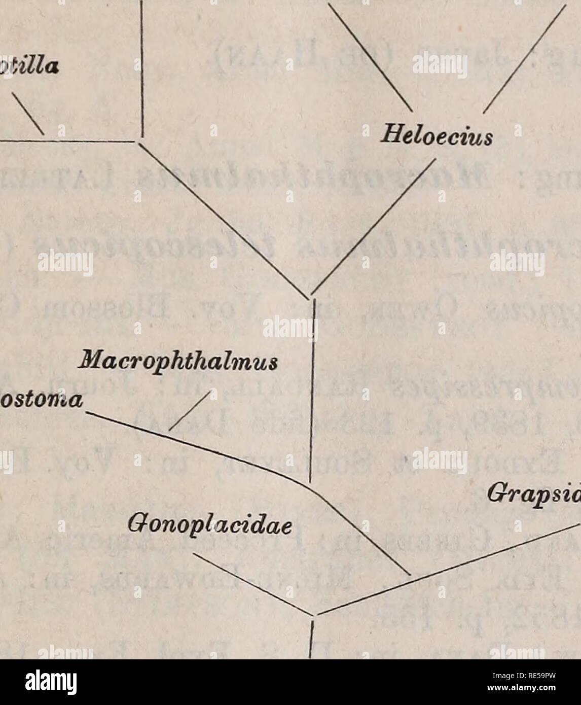 . Crustacea. Zoologische Jahrbücher, 1891-97. Die Decapoden-Krebse des Strassburger Museums. 743 Die Gattungen der Ocypodidae lassen sich in folgendes Verwandt- schaftsschema bringen: Myctiris Gelastmus Ocypode Dotilla Scopimera. Cleistostoma Grapsidae Unterfamilie: Macrophthalminae Dana. Gattung: Cleistostoma de Haan. 1. Cleistostoma dilatatum de Haan. Ocypode (Cleistostoma) dilatata de Haan, Faun, japon., 1850, p. 55, tab. 7, fig. 3. Cleistostoma dilatatum d. H., Milne-Edwards, in: Annal. Sc. Nat. (3) Zool., T. 18, 1852, p. 160. Meine Exemplare stimmen mit den Abbildungen bei de Haan gut übe - Stock Image