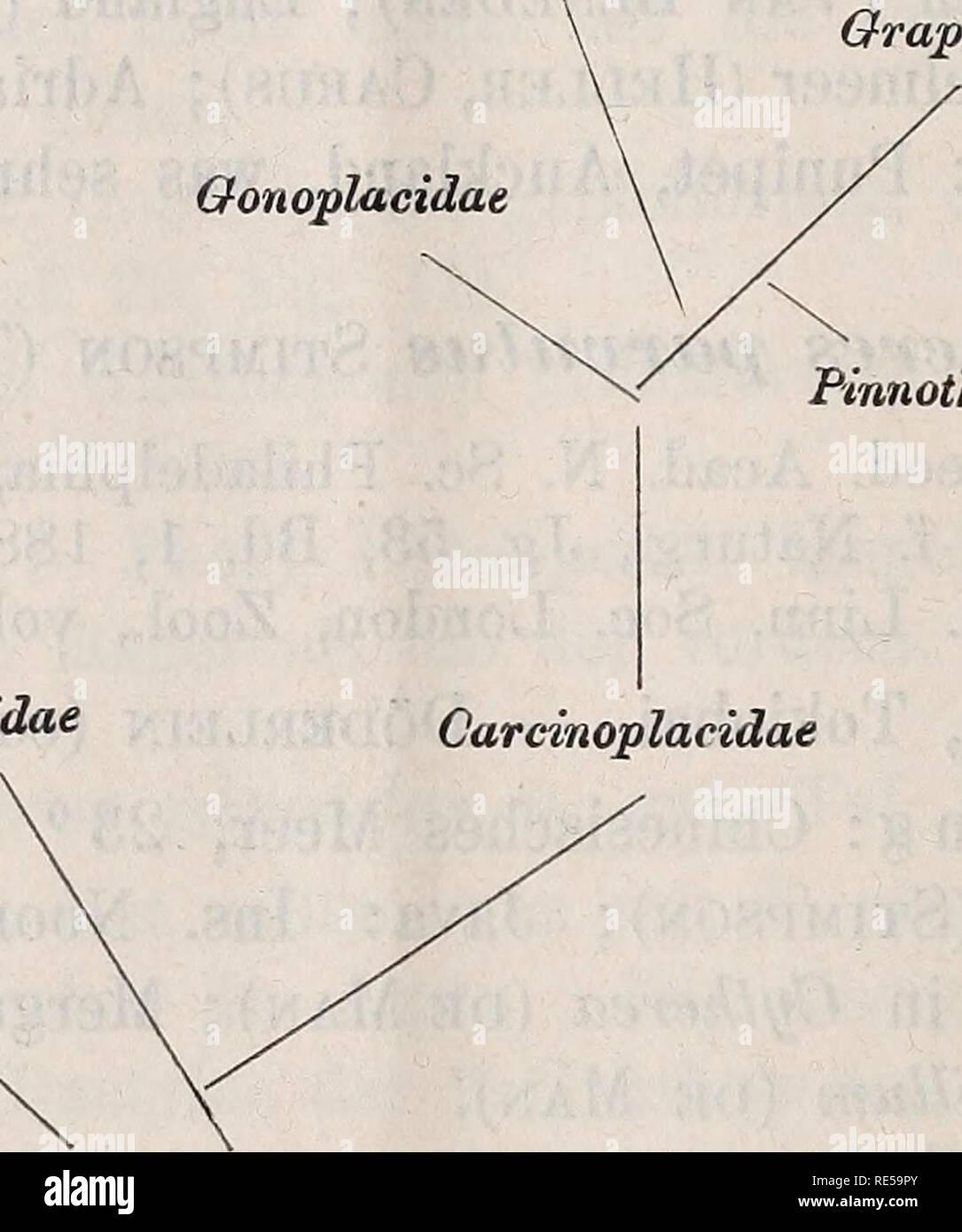 . Crustacea. Zoologische Jahrbücher, 1891-97. 700 A. ORTMANN, Familie: Ocypodidae nov. fam. Cephalothorax viereckig oder gerundet, mehr oder weniger gewölbt, seltener flach. Orbiten quer-verlängert, die äussern Orbitaecken ge- wöhnlich die vordem seitlichen Ecken des Cephalotnorax bildend (selten die Orbiten reducirt). Augenstiel mehr oder weniger ver- längert. Stirn schmaler, meist bedeutend schmaler als die Orbiten. Die Beziehungen der Familien der Catametopen lassen sich durch folgendes Schema ausdrücken Gecarcinidae Ocypodidae Grapsidae Gonoplacidae. Pinnother idae Ozndae Carcinoplacidae X - Stock Image