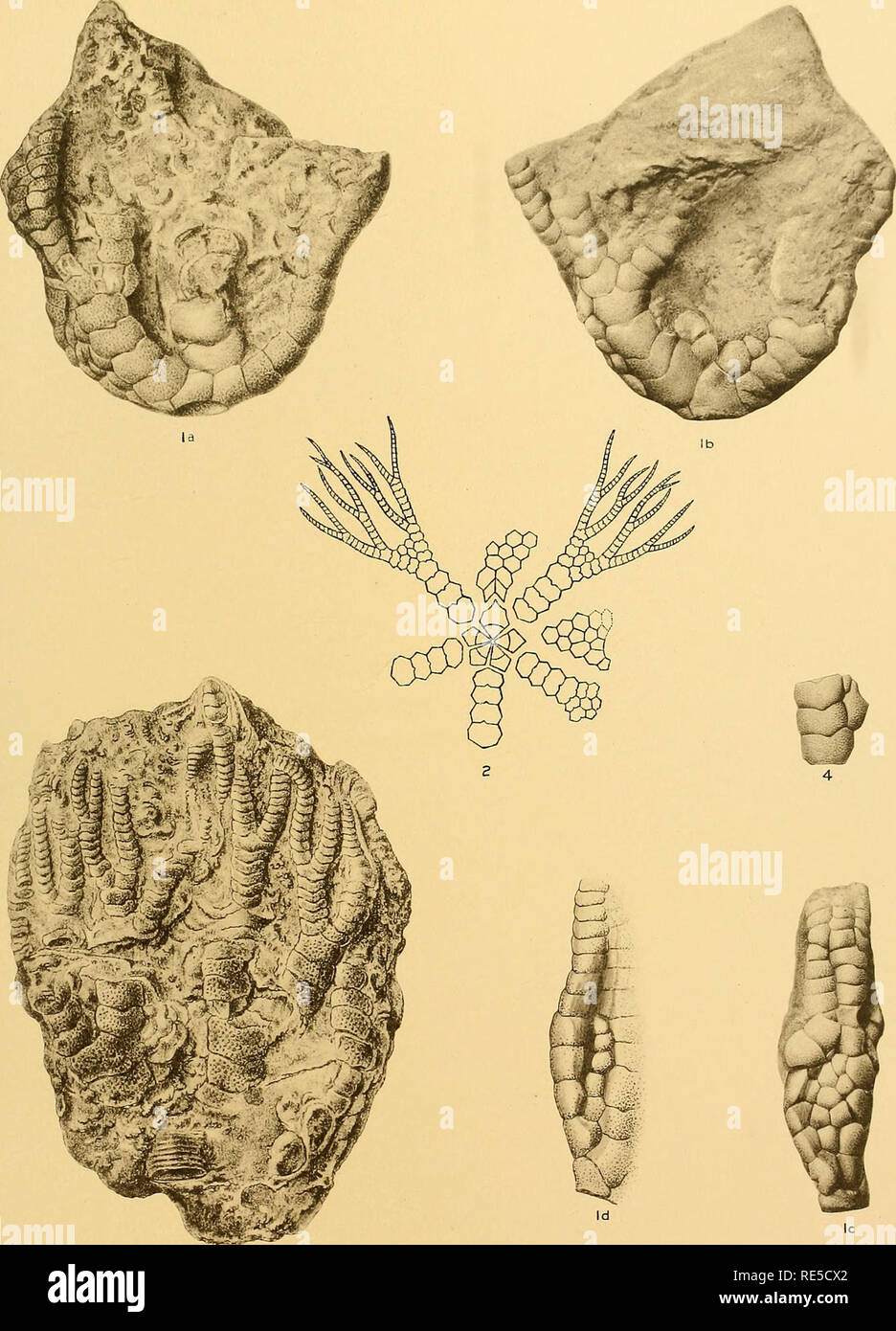 . The Crinoidea flexibilia (with an atlas of A.B.C. and 76 plates). Crinoidea, Fossil. Springer: Crinoidea Flexibilia Plate IXIl. KK.Ghaproimdel. Helotj'peCaBoslm. Please note that these images are extracted from scanned page images that may have been digitally enhanced for readability - coloration and appearance of these illustrations may not perfectly resemble the original work.. Springer, Frank, 1848-1927; Smithsonian Institution. City of Washington, Smithsonian institution - Stock Image