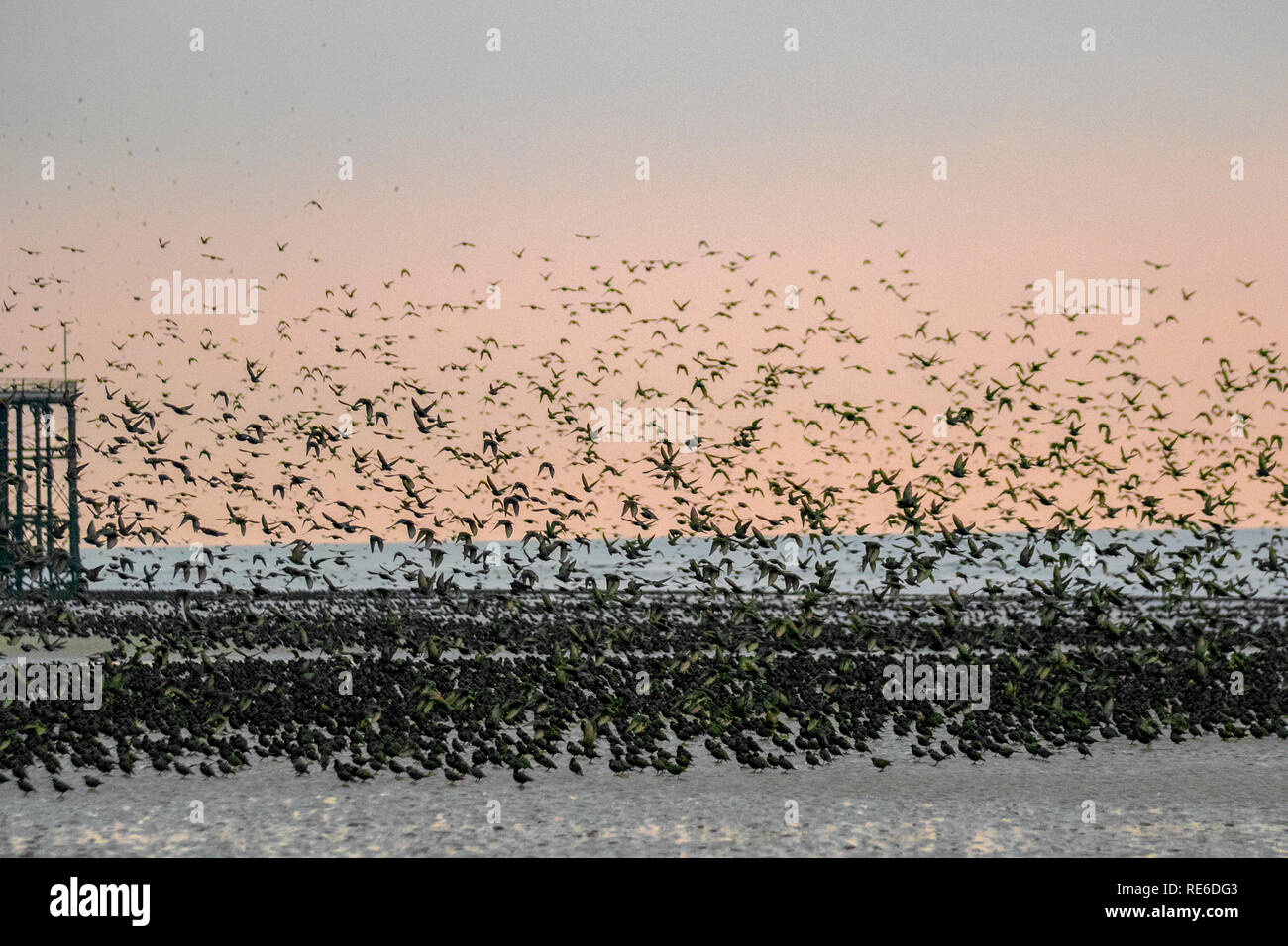 Blackpool, Lancashire.  19th Jan, 2019. UK Weather. Starlings gather on the beach before roosting. On a day with very little wind these passerine birds, their numbers swelled with migratory birds from the continent, take a rest from flying to gather on the beach shoreline before going to roost in the structure of the North Pier. They normally gather over their roosting site, and perform their wheeling stunts before they roost for the night.Credit: MediaWorldimages/AlamyLiveNews. - Stock Image