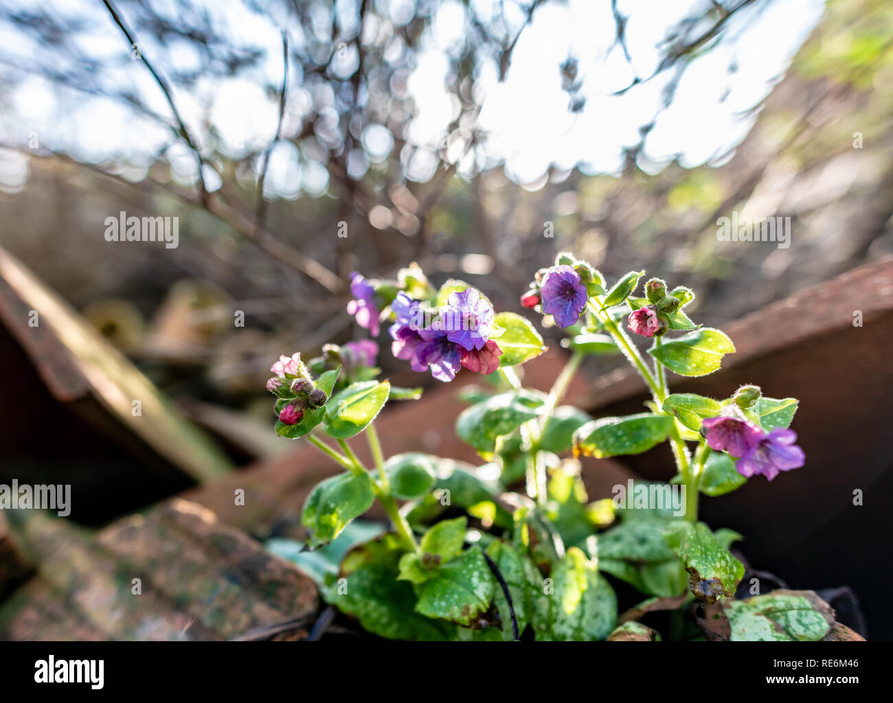 Wareham, UK. Sunday 20th January 2019. Flowers come out unusually early on a sunny day in the middle of January 2019. Credit: Thomas Faull/Alamy Live News Stock Photo
