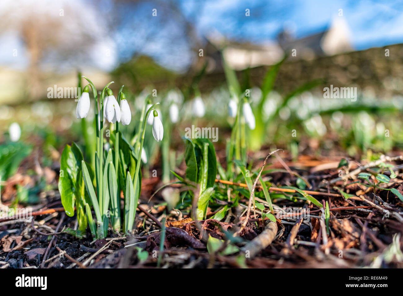 Wareham, UK. Sunday 20th January 2019. Snowdrop flowers come out unusually early on a sunny day in the middle of January 2019. Credit: Thomas Faull/Alamy Live News Stock Photo