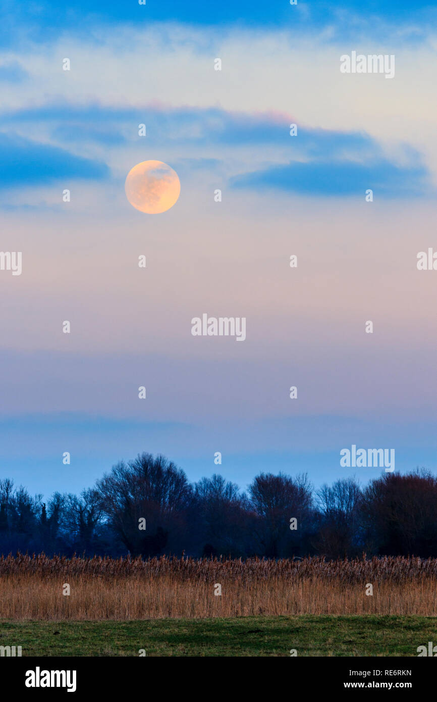 Super moon rising in a sky with scattered clouds. Evening during the blue hour just agter sunset. Treeline at bottom of frame with the moon rising into cloud layer. Stock Photo