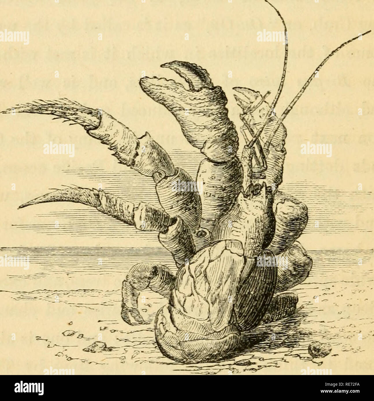 """. Crab, shrimp, and lobster lore, gathered amongst the rocks at the sea-shore, by the riverside, and in the forest. Shrimps; Crabs; Lobsters. 46 CRAB, SHRIMP, AND LOBSTER LORE. And from the palm to drain its fresh'ning wine, More bounteous far than all the frantic juice """"Which Bacchus pours."""" Here, like a feudal baron of old, he forms for himself a stronghold, sallying forth like a freebooter, to feast on the spoils of the grove. Curious stories are related of these marauders, and it has been gravely asserted that. they have been known to ascend the tall stalks of the cocoa palms for Stock Photo"""