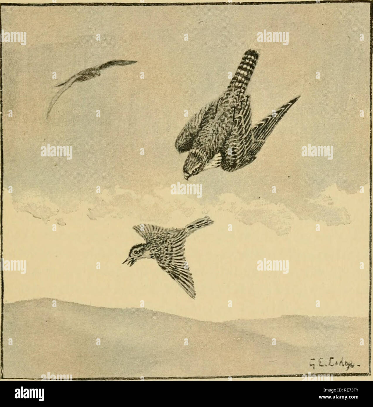 . Coursing and falconry. Coursing; Falconry; CHR 1892; PRO Stewardson, Misses (donor). MERLINS way many times, and have also hacked them, and we have found those reared in a room prove just as good fliers as those that had been hacked. It was also the method employed by Mr. Newcome, who was very successful with these little hawks. Whether hacked or not, merlins will do better loose in a room than on blocks or perches. On days when they are to be. Lark hawking flown they can be taken up, and after being given a few mouthfuls in the morning, set down on small-sized blocks or on the bow-perch (se - Stock Image