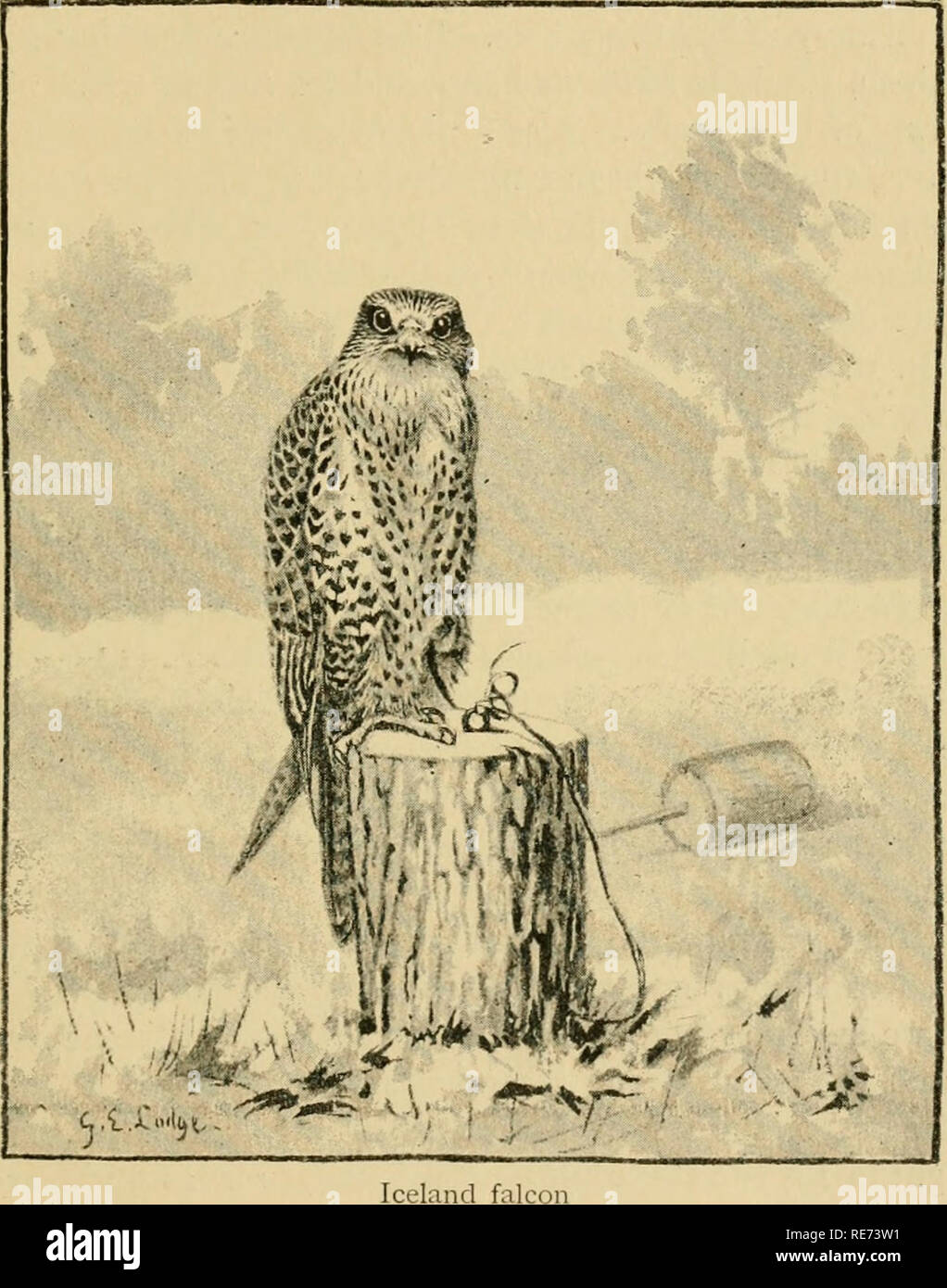 . Coursing and falconry. Coursing; Falconry; CHR 1892; PRO Stewardson, Misses (donor). GERFALCONS 295 ing this stud of hawks, together with Mr. E. C. Newcome. They were then estabhshed at Elveden, and all, or nearly all, were trained, and many entered. Probably, since the earliest days of falconry, a stud of hawks has never been seen of. Iceland fa so magnificent an appearance as this collection presented at that time. Besides the thirty-three gerfalcons, there was a fair team of peregrines, a sacre in full work, a goshawk or two, and some naif-dozen/wzzVj which Barr purchased in order to be s - Stock Image