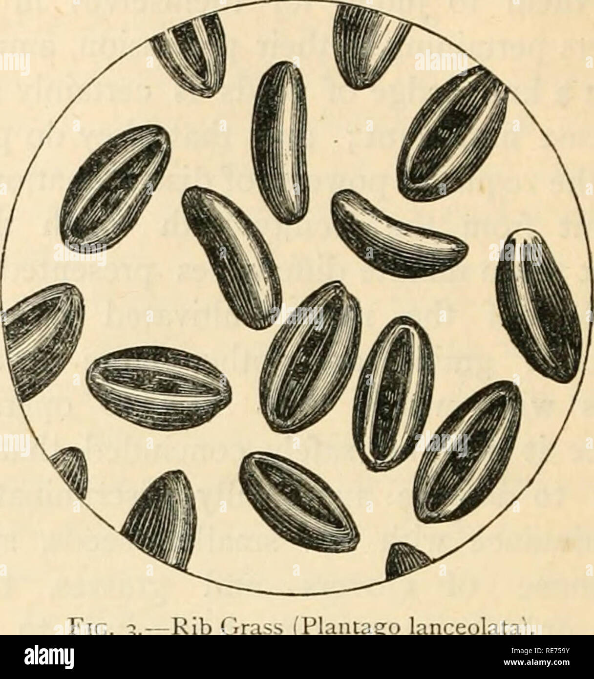 """. The Country gentleman's magazine. Agriculture; Agriculture -- Great Britain. KiG. 2.—Unripe Seeds of Red CI No. 2 represents imperfectly ripened seeds of red clover, enclosed in their still adhering husks. These, as shewn in the engraving, resemble small acorns with their cups at- tached ; and in sample, they are so unlike the seeds of any of our field weeds that many were present in about the proportion of six per cent. No. 3 exhibits difterent views of the rib-. go lanceolata"""". grass, common ril^wort, or plantain seed— Plantago lanceolata—magnified on the same scale as the others. Thi - Stock Image"""