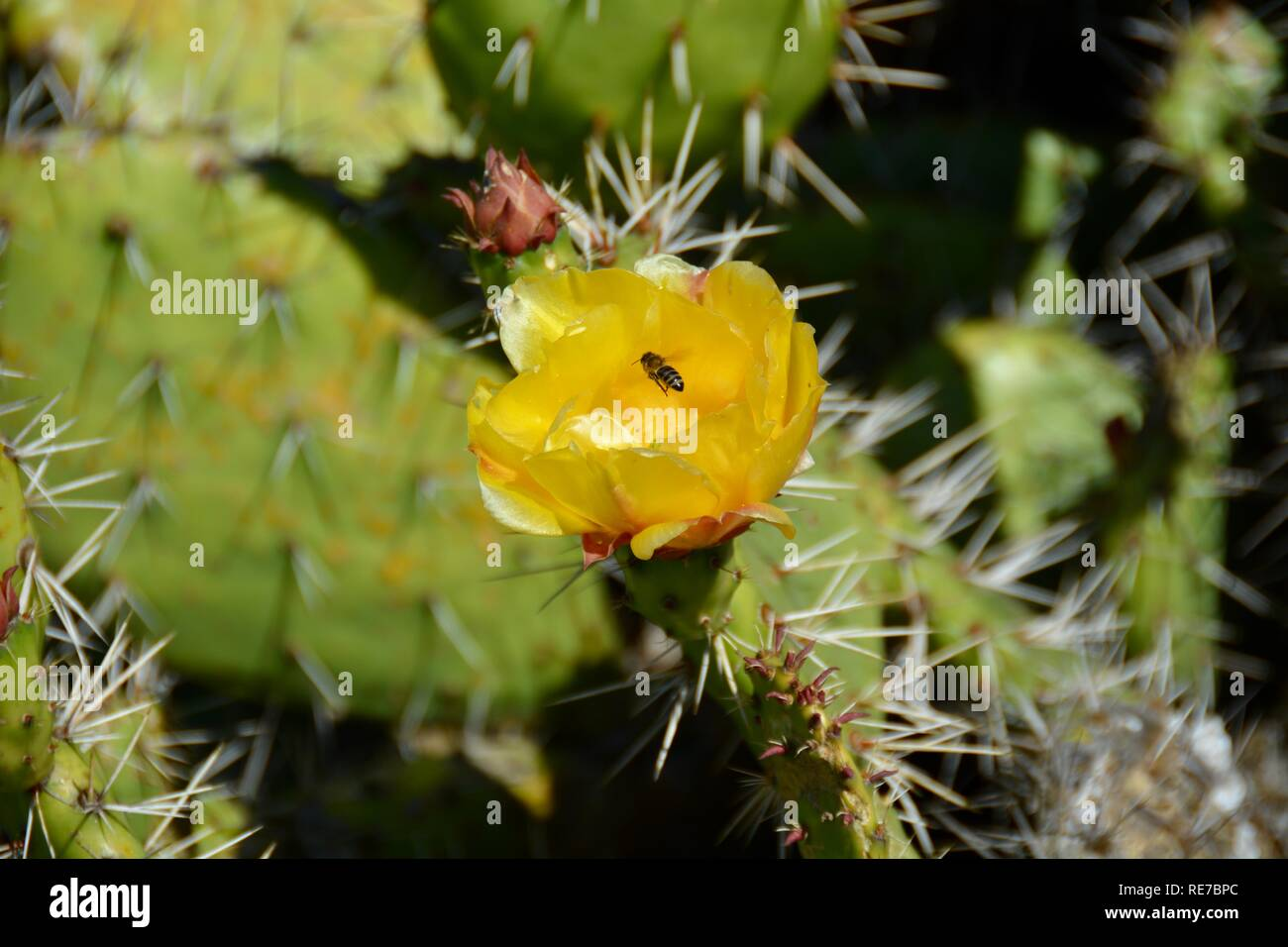 Bee gathering pollen from the yellow flower of a prickly pear cactus at Bolsa Chica Ecological Reserve. Prickly pear branches are edible when cooked. - Stock Image