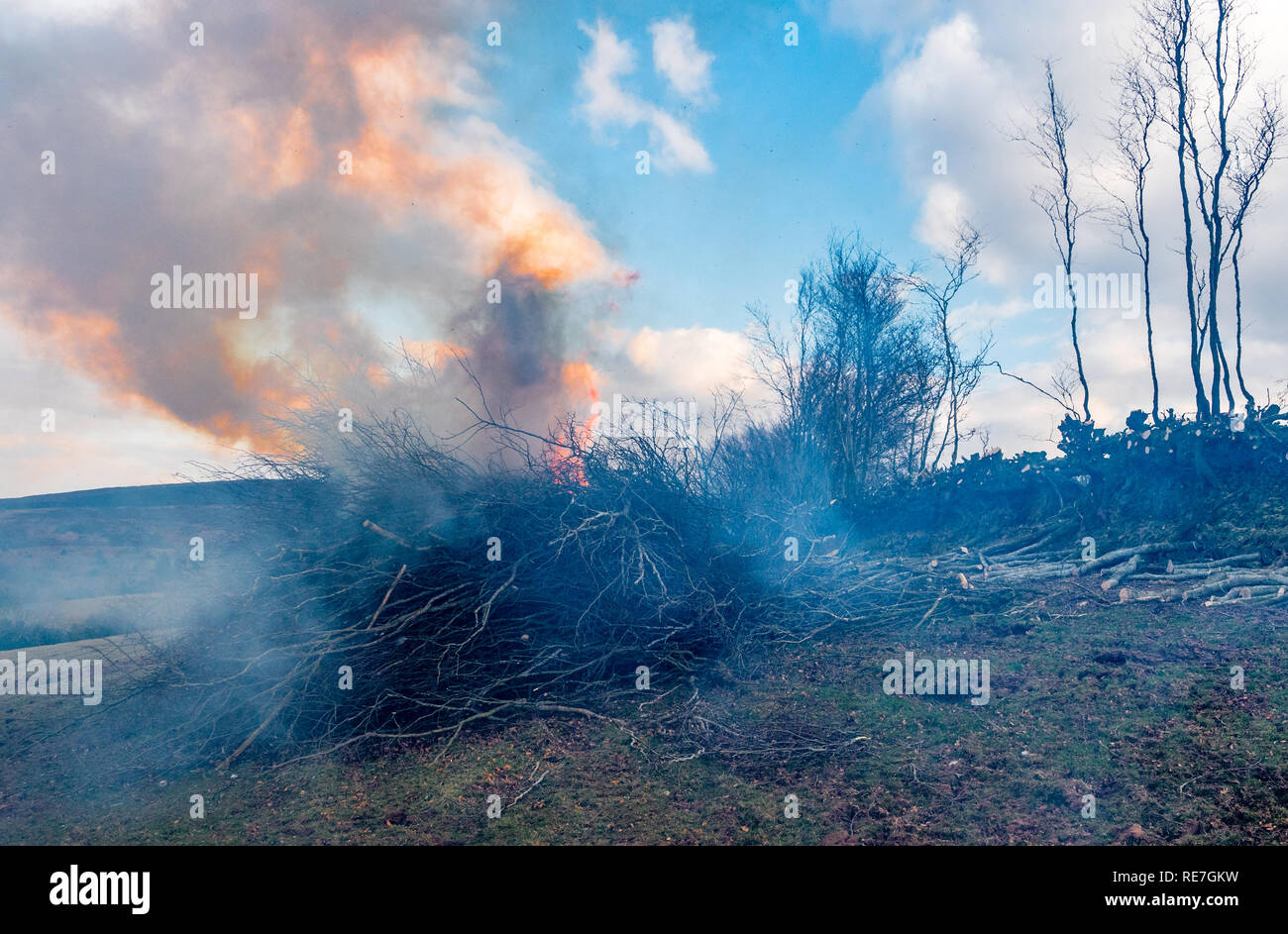 Hedge coppicing and burning on a farm on Exmoor National Park Somerset UK - Stock Image