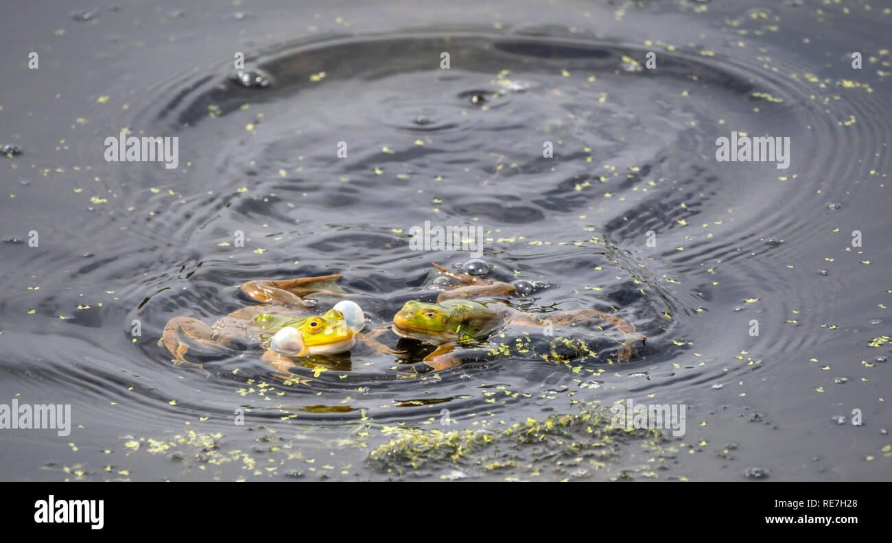 Marsh frogs Rana ridibunda croaking wth inflated cheek pouches at spawning time in the Somersetshire Coal Canal in central Somerset UK - Stock Image