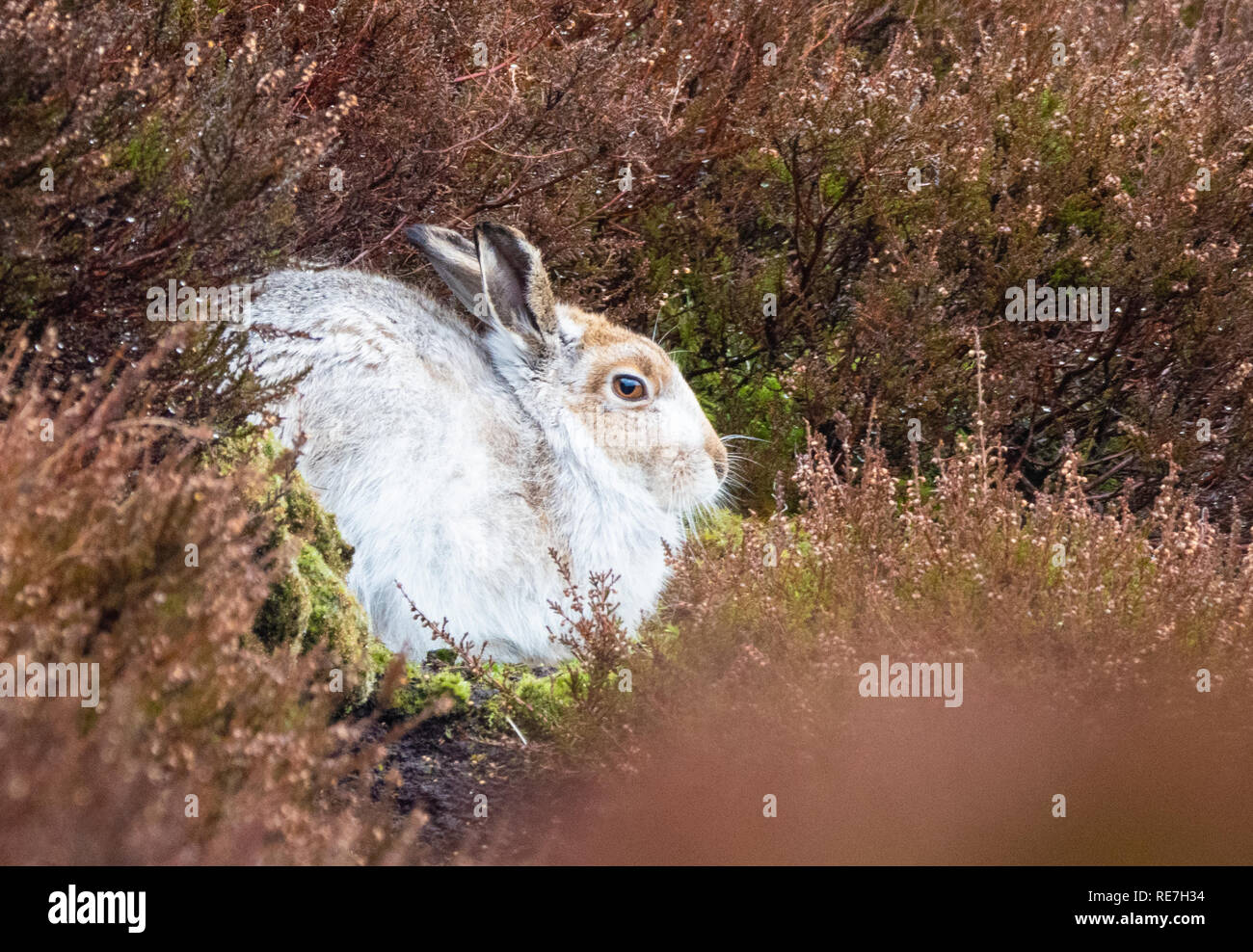 Mountain hare Lepus timidus in conspicuous white winter fur without snow cover hunkered down in its heather form in the Derbyshire Dark Peak UK - Stock Image