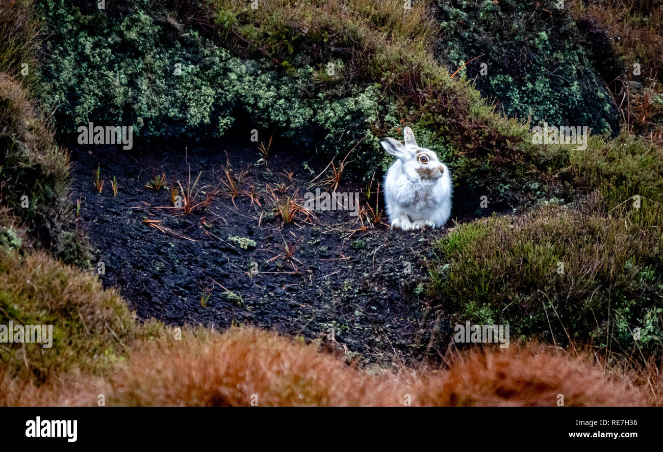 Mountain hare Lepus timidus in conspicuous white winter fur without snow cover hunkered down in a peat grough in the Derbyshire Dark Peak UK - Stock Image
