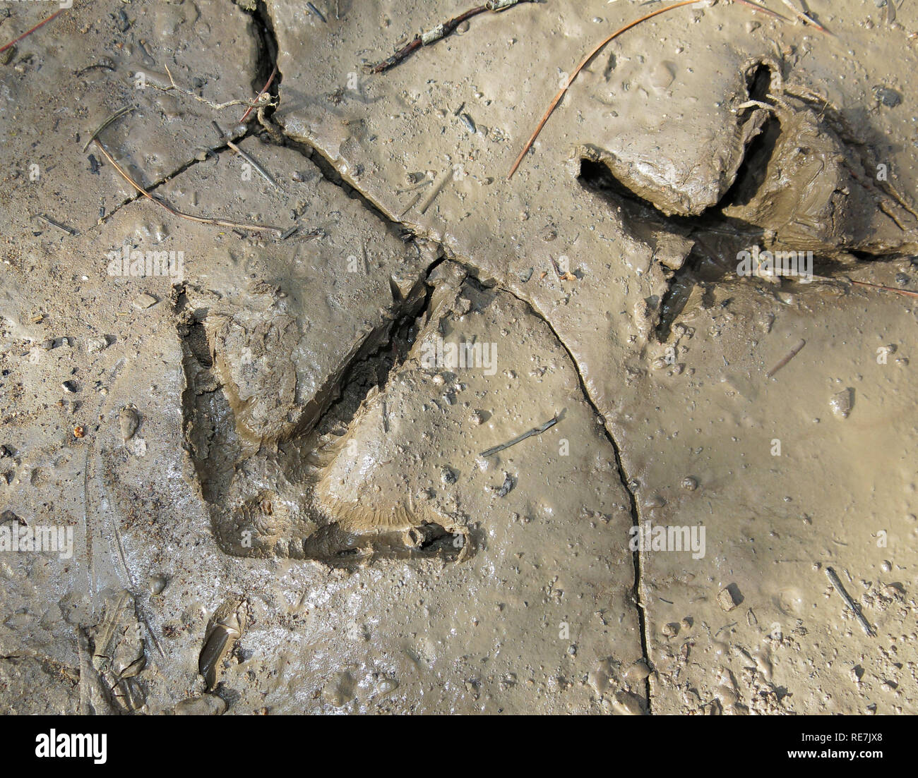 detailed wild turkey tracks in mud - Stock Image