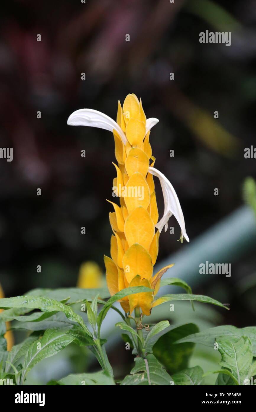 golden shrimp plant or  lollipop plant, soft-stemmed evergreen shrub - Stock Image