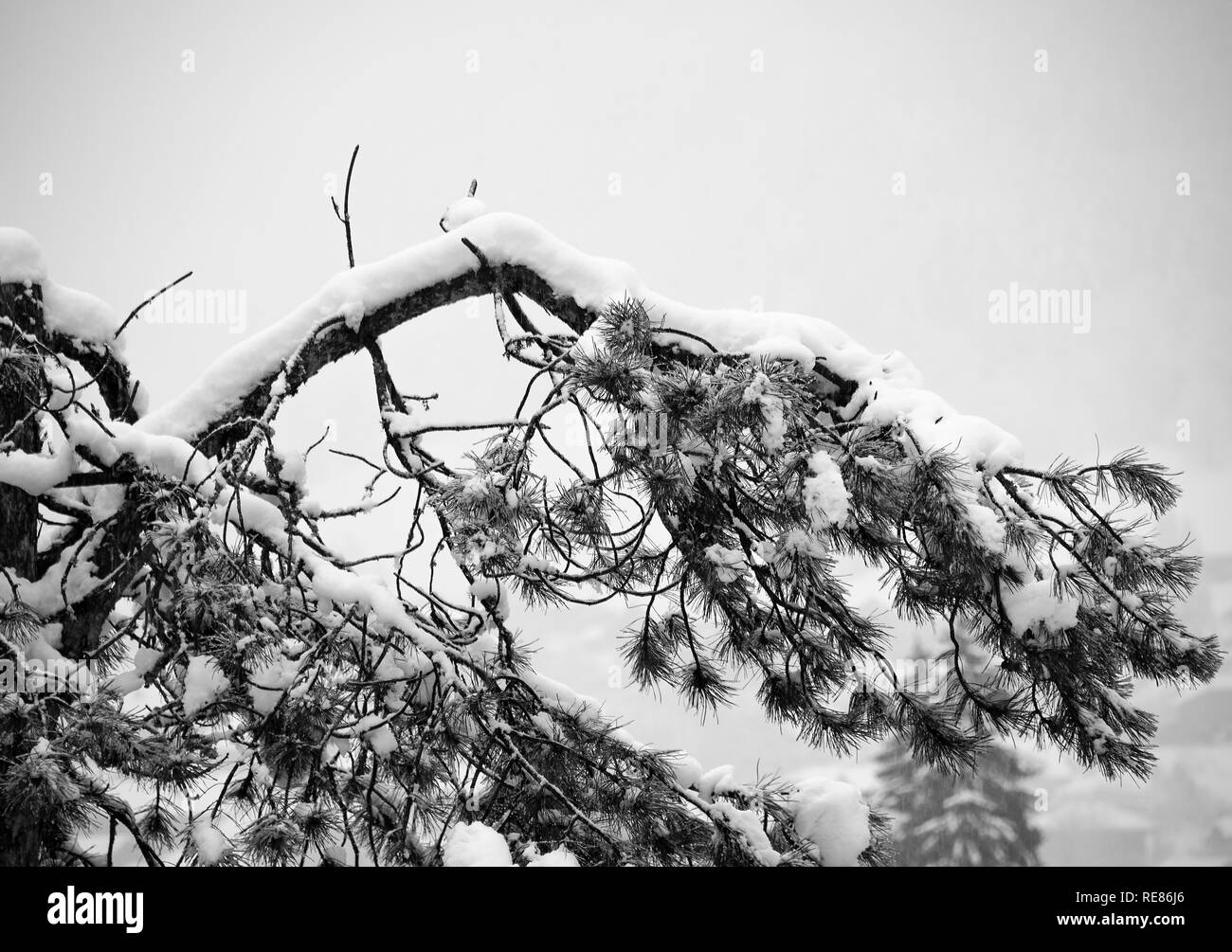 The Bough of a Pine Tree Covered in Fresh Snow in the French Ski Resort Town of Morzine Haute Savoie Portes du Soleil France - Stock Image