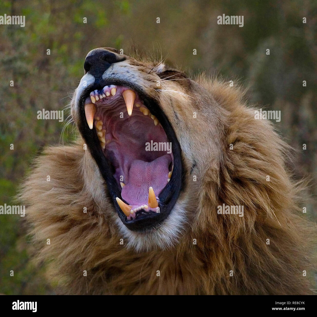 a portrait of  a male lion yawning - Stock Image
