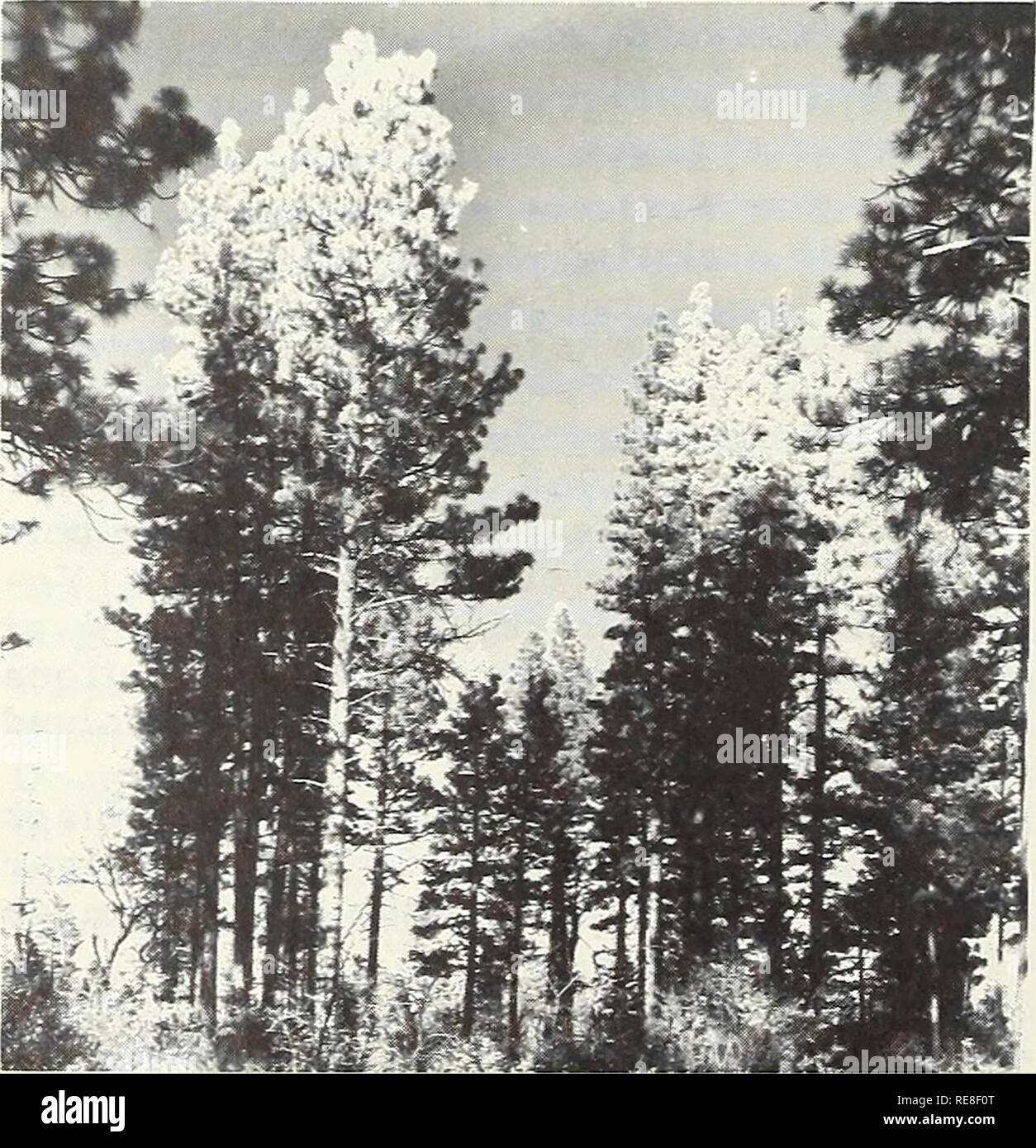 . Cooperative economic insect report. Insect pests Control United States Periodicals. - 1010 - also occurred on some 150,000 acres in parts of Shasta and Lassen Counties. In southern California, many Coulter pines were killed at several locations; in River- side County, groups of 90 or more trees were killed late in the season. In some places outbreaks were sparked by forest fires where beetle broods de- veloped in scorched trees; in others they developed in trees struck by lightning. Warm, dry weather during winter and early spring favored bettle broods in all areas. Mountain Pine Beetle Infe - Stock Image