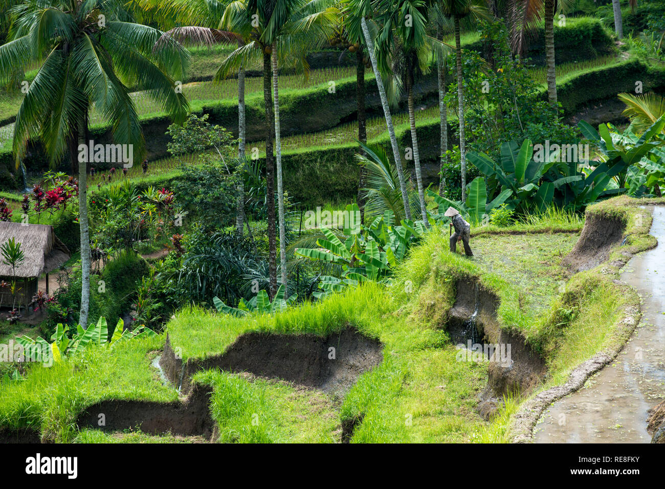 Unrecognizable agricultural worker climbing among Balinese rice terraces at Tegallalang near Ubud - Stock Image