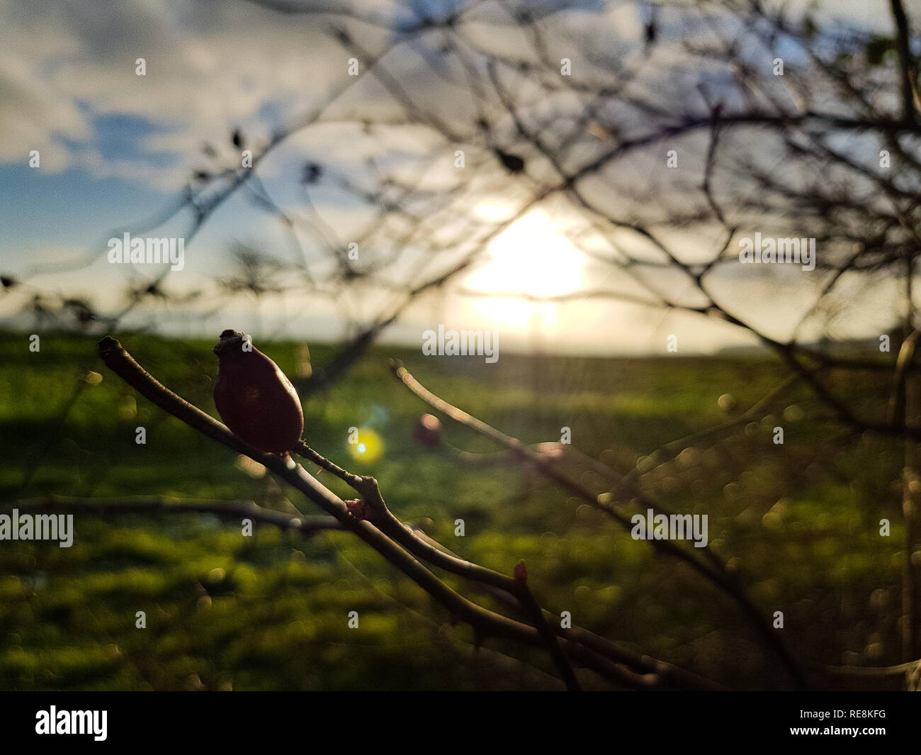 Blurry close up of branches without leaves in the winter a green field and the cloudy blue sky in the back - Stock Image